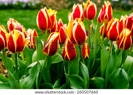 Veriegated red yellow tulips - stock photo