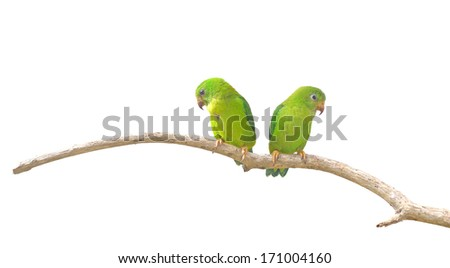 Vernal Hanging Parrot (Loriculus vernalis)  isolated on white background, Parrots of Thailand - stock photo