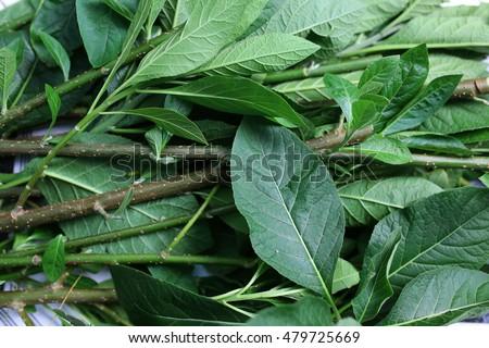 Vernonia Amygdalina Bitter Leaf Leaves On Stock Photo ...