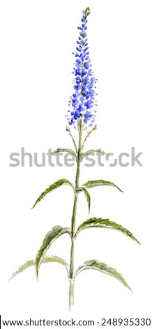 Veronica flower isolated on white watercolor stock illustration veronica flower isolated on white watercolor illustration mightylinksfo