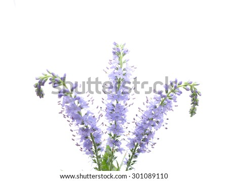 Veronica spicata on a white background