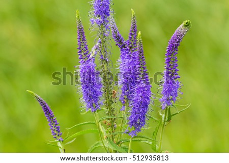 Veronica spicata (spiked speedwell; Pseudolysimachion spicatum) is a species of the genus Veronica. Also known as Royal Candles Veronica