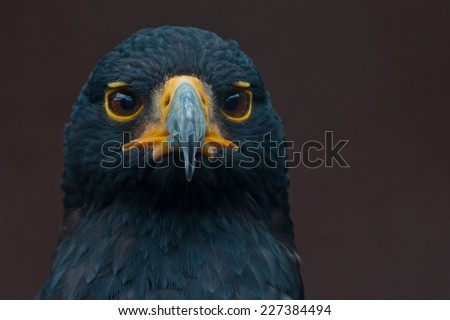 Verreaux's eagle (Aquila verreauxii) also called the black eagle ~ at a Birds of Prey Rehabilitation Center in South Africa - stock photo