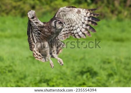 Verreaux's eagle owl in flight. A Verreaux's eagle owl is seen as it flies past the camera. - stock photo