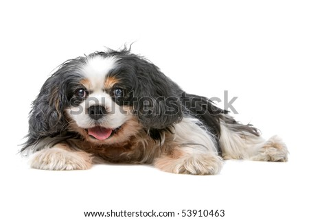 verry old Cavalier King Charles Spaniel (14 years)