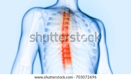Vertebral Column Anatomy Thoracic Spine 3 D Stock Illustration ...