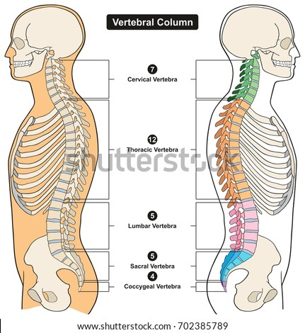 Vertebral column human body anatomy infograpic em ilustrao stock vertebral column of human body anatomy infograpic diagram including all vertebra cervical thoracic lumbar sacral and ccuart Image collections