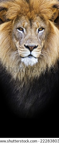vertical banner of a male lion closeup on a black background