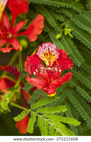vertical beautiful orange jacaranda blooming flower in african garden