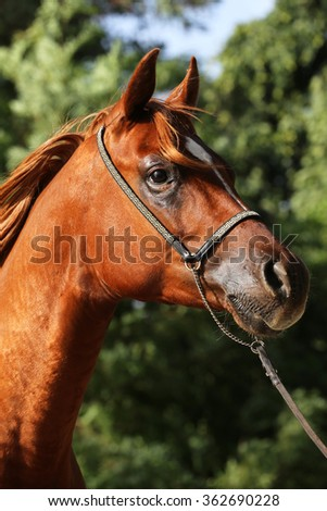 Vertical close-up of a thoroughbred arabian horse head on natural background - stock photo