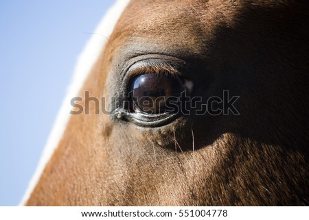 Vertical closeup of face and eyes of a purebred stallion on blue sky background