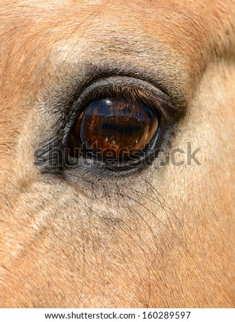 Vertical horse eye close up with very long eye lashes.