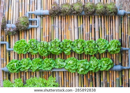 vertical hydroponics vegetables plantation on bamboo wall
