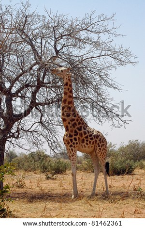 Vertical image of a desert giraffe eating from a tree in Niger