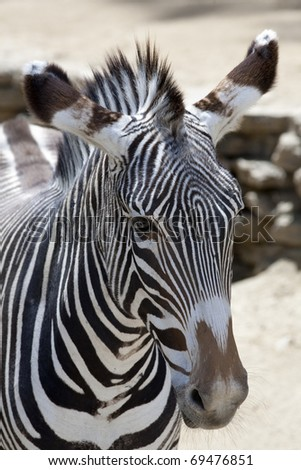 Vertical image of a Grevy's zebra head. - stock photo