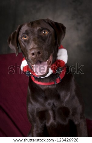 Vertical image of a head and shoulders view of a beautiful, Chocolate Lab looking into the camera.