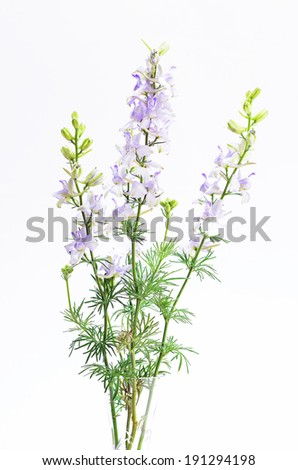 Vertical image of pale purple Delphinium (Delphinium staphisagria) in crystal vase with white background.  Also known as Larkspur. - stock photo