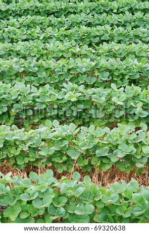 vertical image of soybean field with horizontal rows of soya bean plants - stock photo