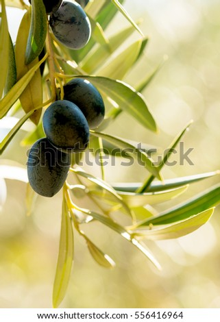 vertical image of warm summer light on a group of olives hanging from a tree in a mediterranean country, negative space  for words and text on a bokeh background