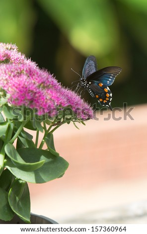 vertical orientation close up of a colorful butterfly perched on bright, pink flowers with blurred green background and copy space / Butterfly and Blooms - stock photo