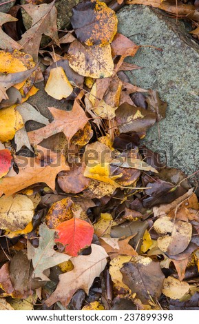 vertical orientation close up of oak and other leaves against a rock border outside, with copy space / Fall Leaves and Rock- Vertical - stock photo