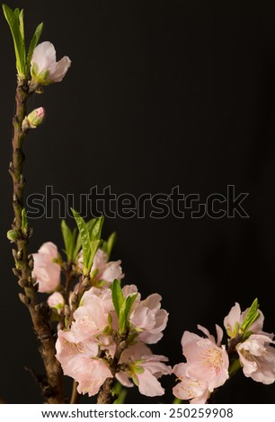 vertical orientation close up of peach blossoms just opening, isolated on a black background, with copy space / Peach Blossoms isolated on Black - stock photo