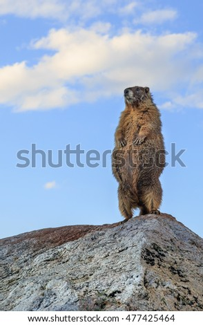 vertical orientation color image close up of a single yellow bellied marmot standing tall on a rock, with copy space / Yellow Bellied Marmot Close Up