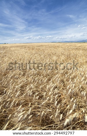 Vertical panorama of a yellow wheat fields