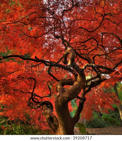 Vertical photo of a beautiful Japanese maple tree blushing with autumn foliage - stock photo
