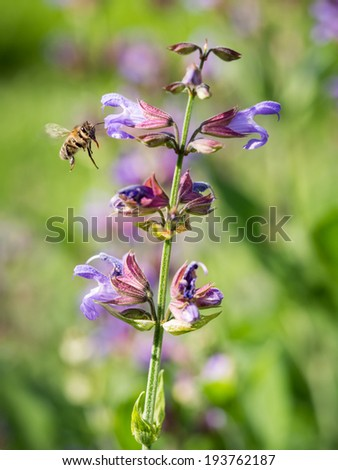 Vertical photo of a flying bee with its tongue out getting on a lavender flower in spring in Georgia, Caucasus. Close up, green background.