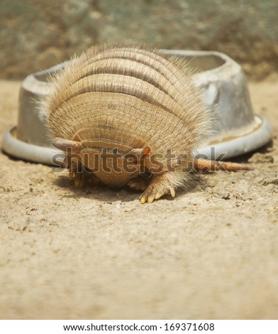Vertical photo of an armadillo rolling in. This animal was kept in Zoo. - stock photo