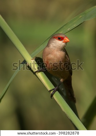Vertical photo of Common Waxbill, Estrilda astrild, small colorful african bird with red beak and red eye stripe perched on a diagonal reed stem against blurred background. Madeira Island. - stock photo