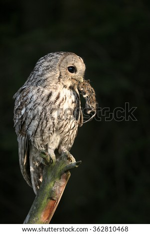 Vertical photo of one Strix aluco,Tawny Owl, perched on top of branch with mouse in its beak, lit by early morning sun,curiously stares at camera. Dark blurred background. Nice composition. - stock photo