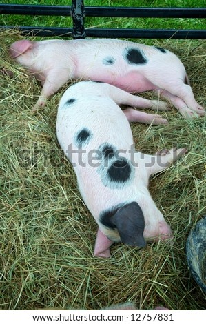 Vertical photo of two Gloucestershire Old Spot piglets enjoying rest after eating - stock photo