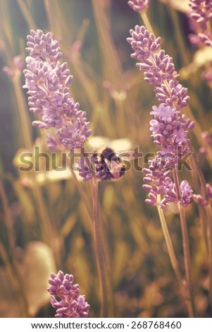 Vertical photograph of bee gathering pollen from lavender in hazy sunlight.  Retro styled with pink and golden yellow hues. - stock photo