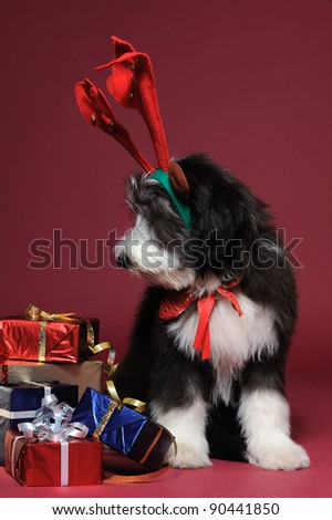 Vertical portrait of a bearded collie puppy with reindeer antlers sitting next to wrapped colorful gifts against red background vertical looking down - stock photo