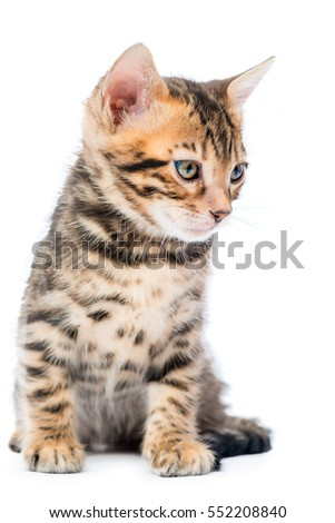 Vertical portrait of a purebred Bengal kitten on a white background isolated