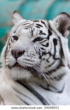 Vertical portrait of a white tiger in the Moscow zoo. - stock photo