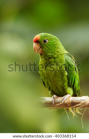 Vertical portrait of green and red Scarlet-fronted Parakeet, Psittacara wagleri, female, perched on hibiscus branch. Wildlife photo of aratinga parrot i in Sierra Nevada de Santa Marta, Colombia. - stock photo