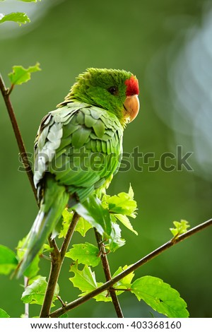 Vertical portrait of green and red Scarlet-fronted Parakeet, Psittacara wagleri perched on hibiscus branch. Wildlife photo of aratinga parrot in Colombian forest. - stock photo