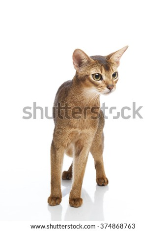 Vertical portrait of one cat of Abissinian  breed standing on isolated background