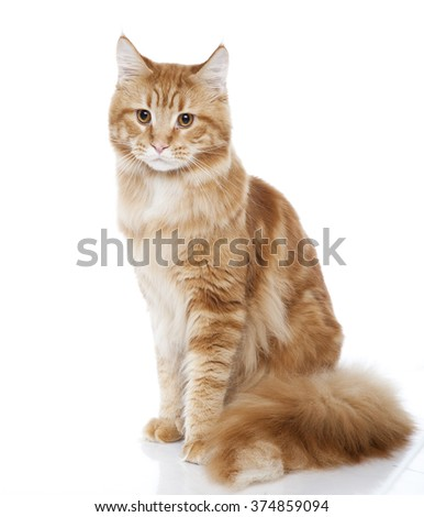 Vertical portrait of one cat of Maine coon breed with red coat sitting on isolated background