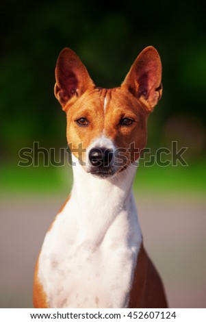 Vertical portrait of one dog of basenji breed with short hair of red and white color, sitting outside with green background on summer.