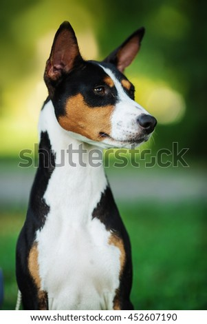 Vertical portrait of one dog of basenji breed with short hair of tricolor black, white and red color, sitting outside with green background on summer.