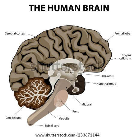 Vertical section of a human brain. showing the medulla, pons, cerebellum, hypothalamus, thalamus, midbrain. - stock photo