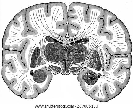 Vertical section of brain, vintage engraved illustration.  - stock photo