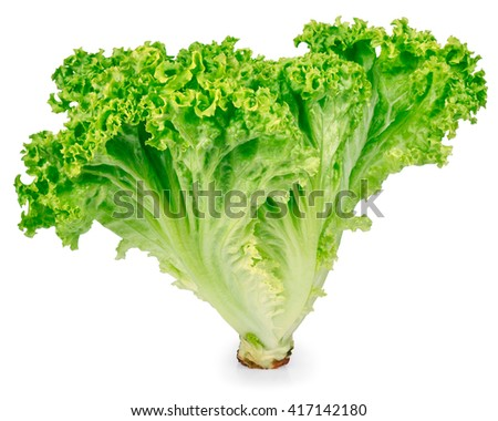 vertical sheaf of green fresh lettuce closeup isolated on white. Healthy food vegetable green organic salad - stock photo