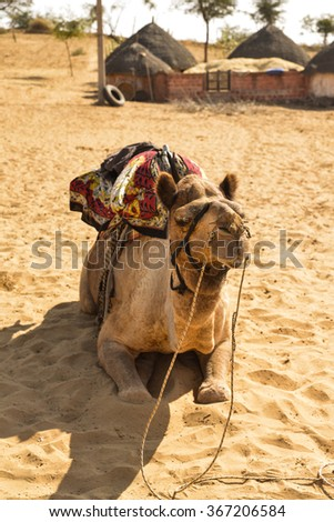 Vertical shot of a camel with its riding saddle on. It is resting after a ride through the desert. This was shot in the Thar Desert in India.
