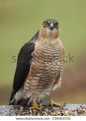 Vertical shot of sparrowhawk against a natural plain green background - stock photo