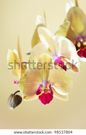 Vertical shot of yellow orchid. Focus on first flower. - stock photo